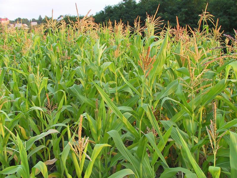В Коми для коров будут выращивать кукурузу