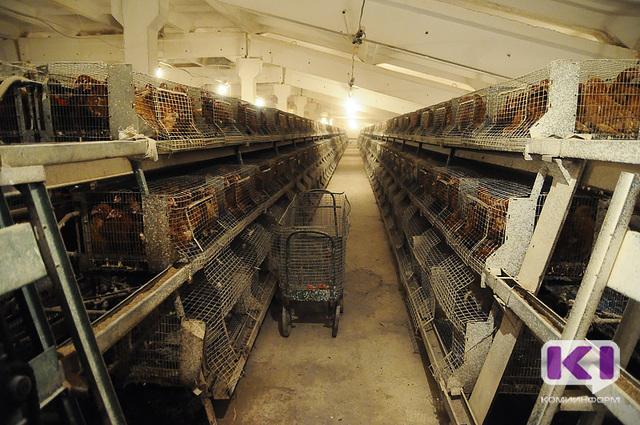 Сыктывкарская птицефабрика на протяжении многих лет работала с нарушениями ветеринарного законодательства