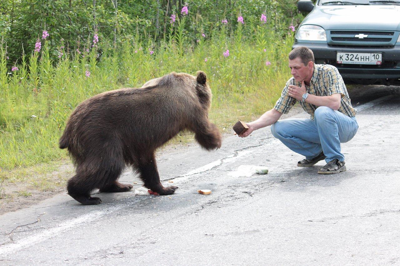 В Коми медведи выходят к поселениям в поисках пищи