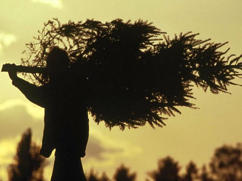 В предновогодние дни в Коми обнаружен лишь один елочный браконьер -  в Воркуте