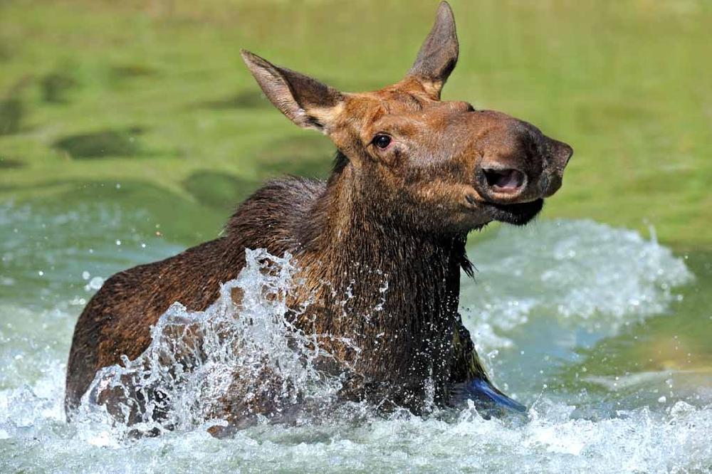 Житель Усть-Вымского района заплатит государству за незаконную лосиную охоту