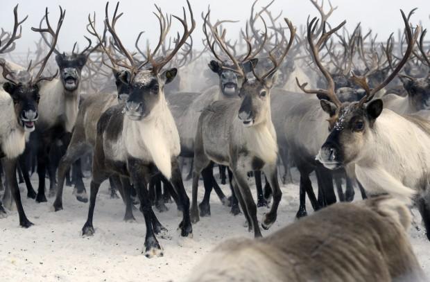 В Коми увеличилось поголовье оленей