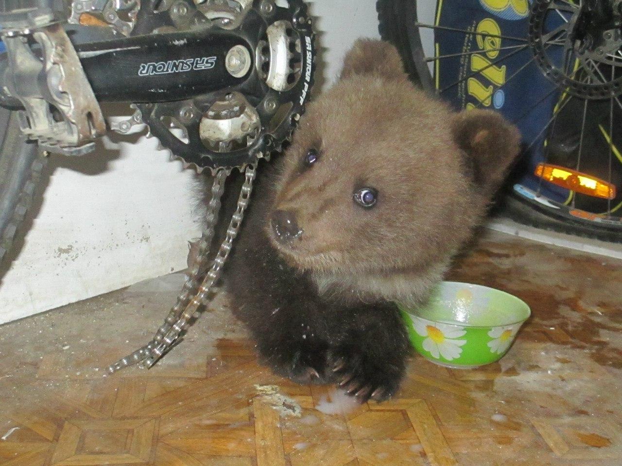 Ухтинская семья приютила медведя-потеряшку