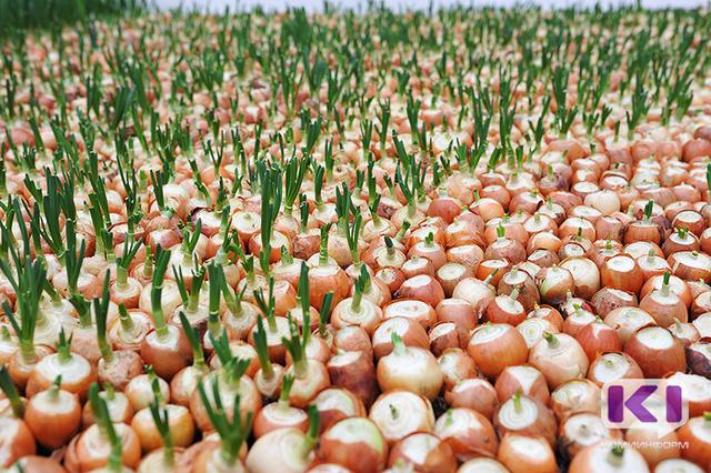 Агрономы рекомендуют жителям Коми убрать урожай в первых числах сентября