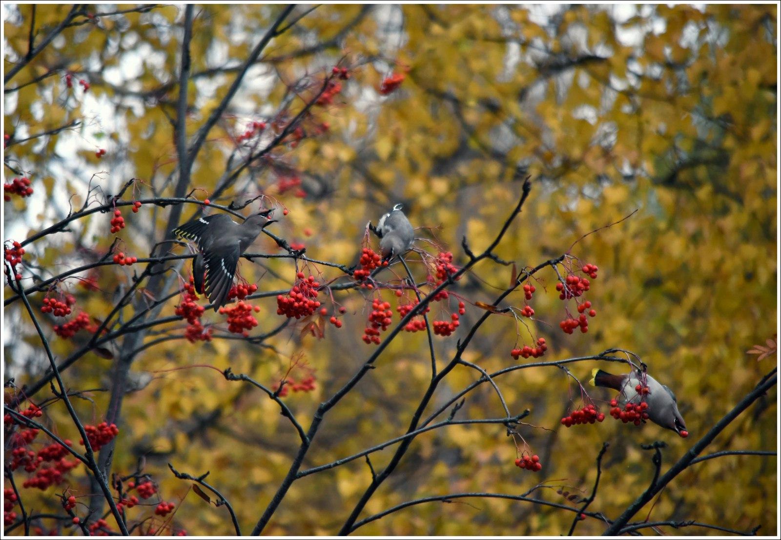 Свиристели в Сыктывкаре гибнут из-за отсутствия опыта взаимодействия с антропогенной средой