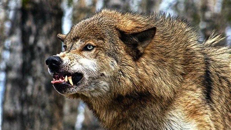 Волки атакуют сельские поселения Коми