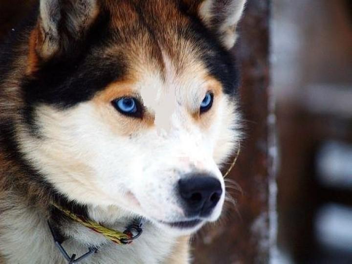 Хозяйка расстрелянной в Седкыркеще хаски ответит за ненадлежащее содержание собак