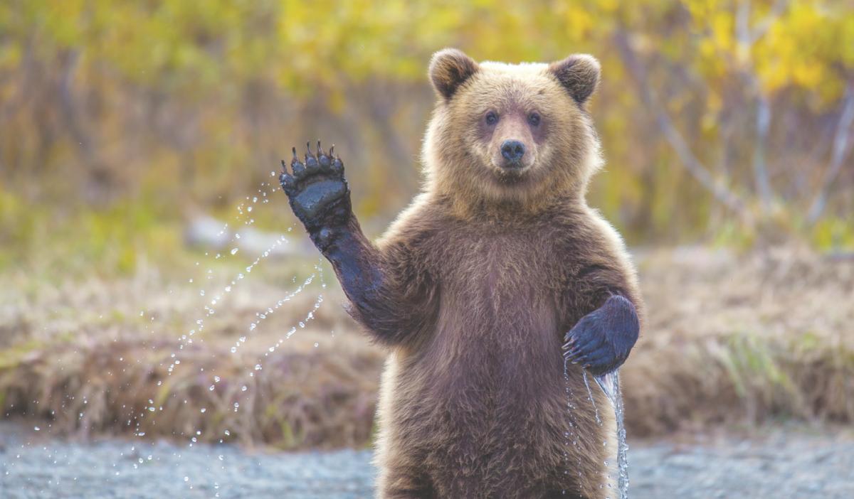 Полиция не обнаружила медведя-шатуна на улицах Выльгорта