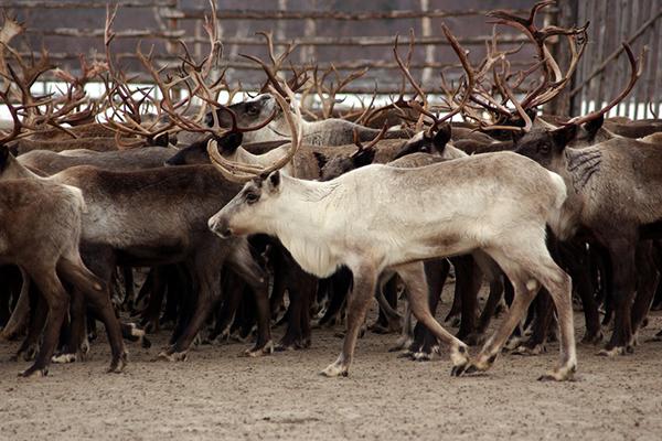 Минсельхоз Коми: Тяжелые металлы в организмах оленей – проблема всего Севера