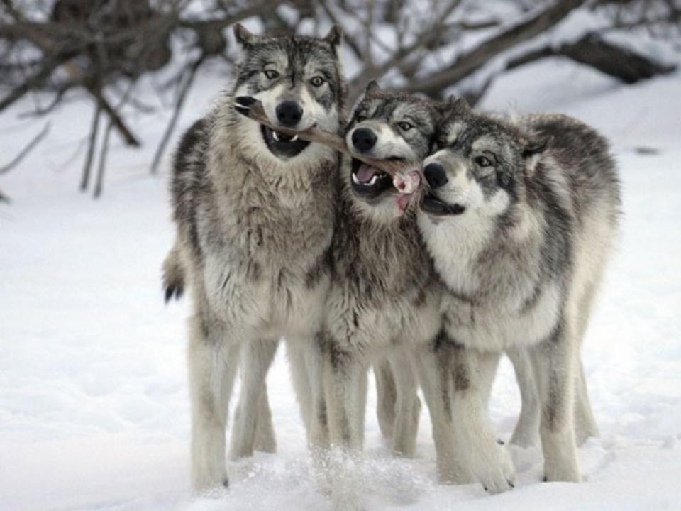 В лесах под Сыктывкаром обитает всего два волка, в удорской тайге - 270.