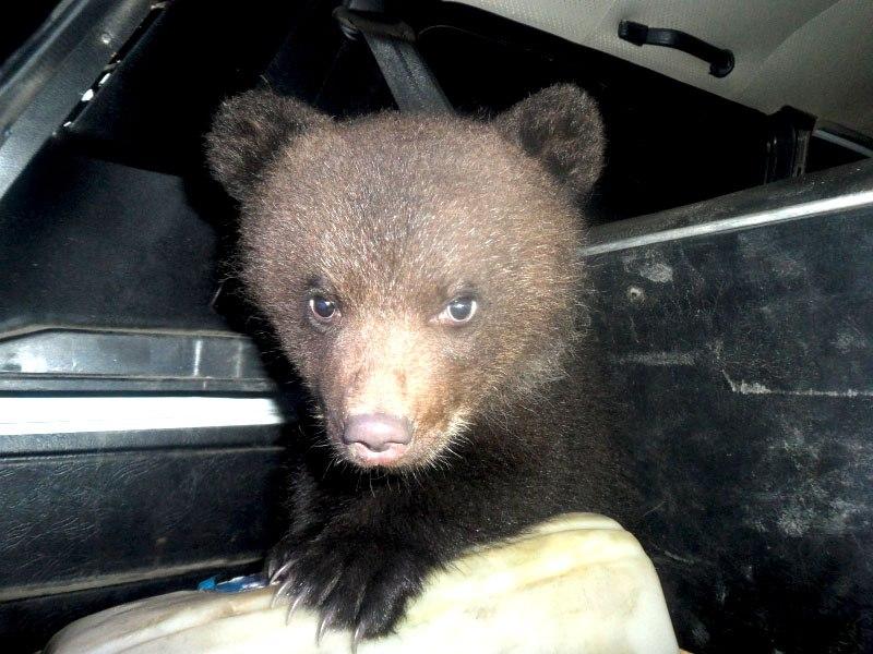ВКоми полицейские спасли 2-х медвежат