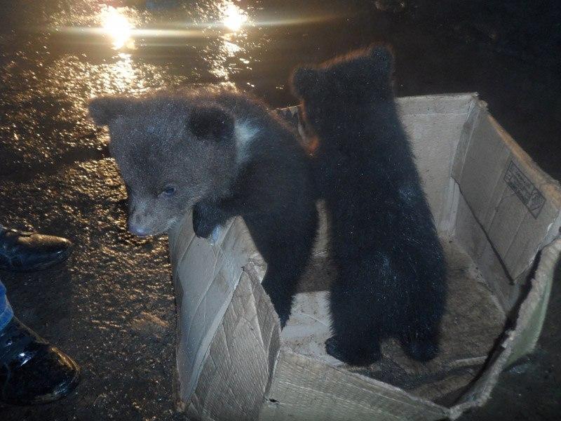 Мать медвежат-подкидышей могла стать жертвой браконьеров