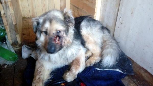 В Усинске добрые горожане спасают раненую собаку