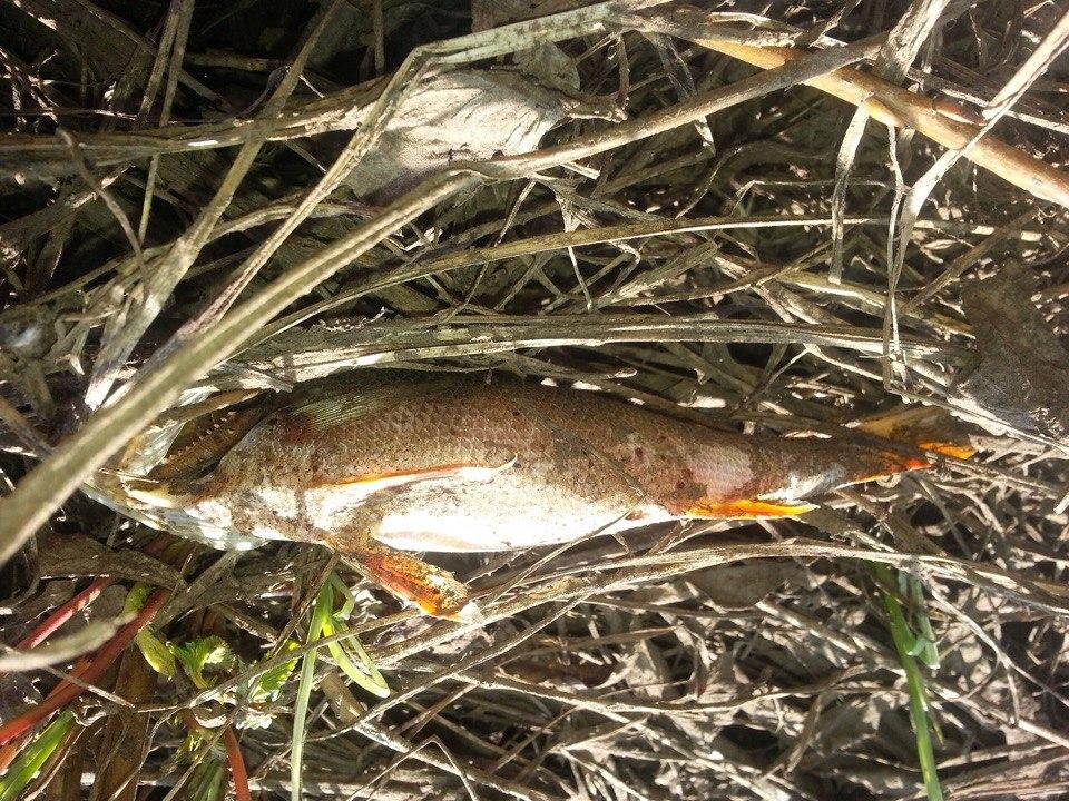 В пригороде Печоры обнаружено место массовой гибели животных и рыб