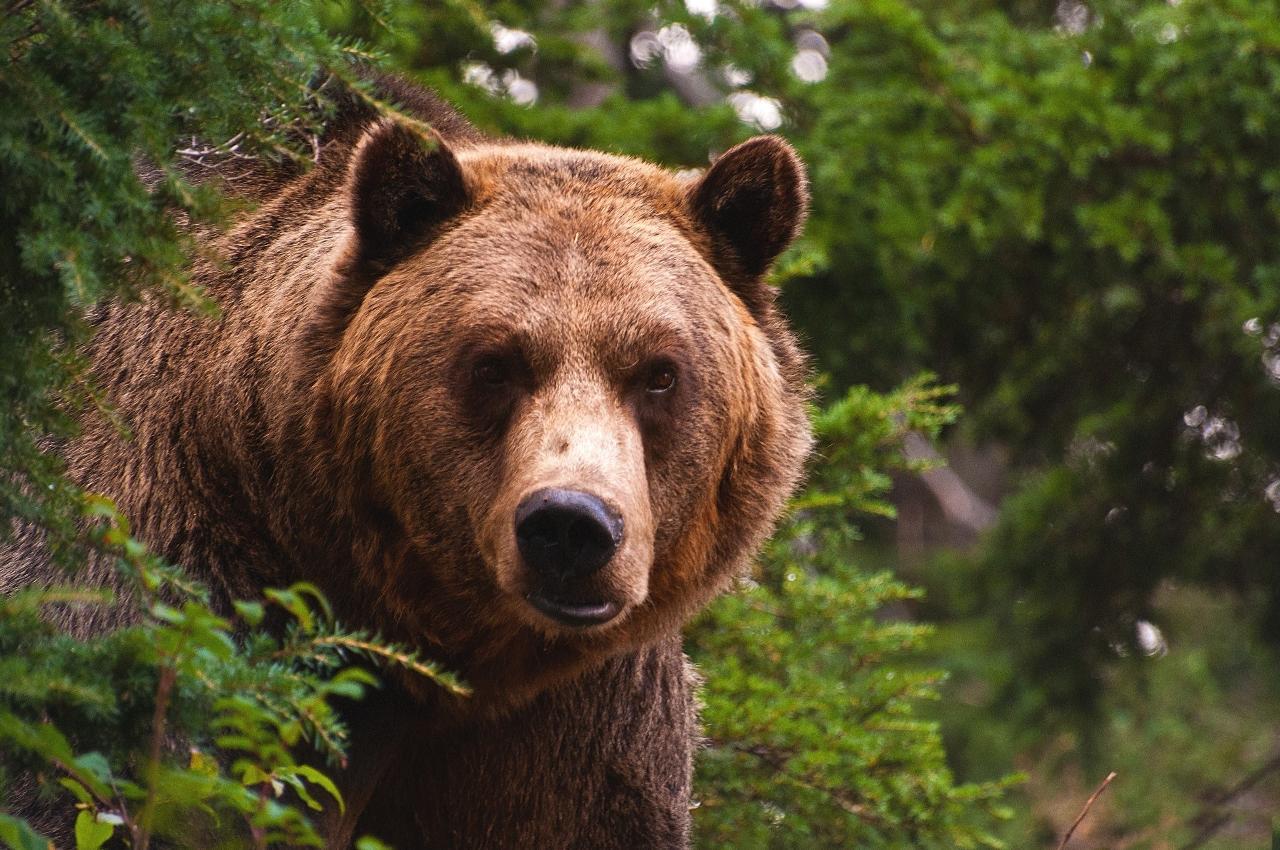 Вблизи Финно-угорского этнопарка гуляет взрослый медведь