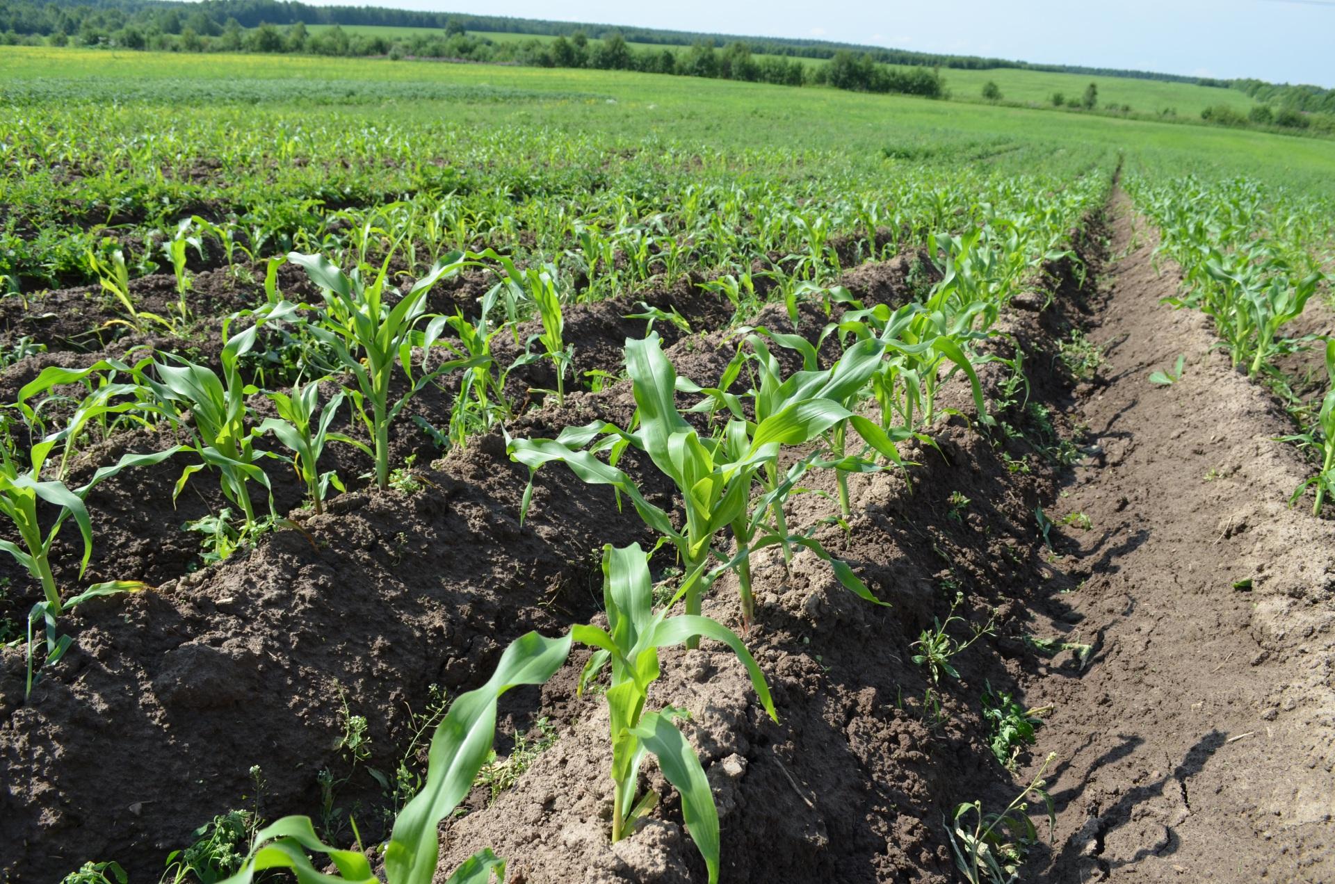 Сортоиспытатели продемонстрировали аграриям Коми делянки с картофелем и кукурузой