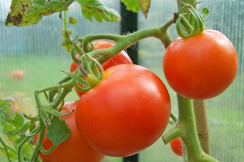 В Коми урожай томатов от грибка фитофторы спасет фунгицидная профилактика