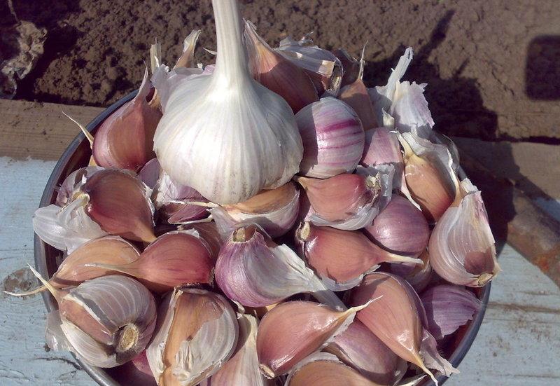 Россельхознадзор Коми дает дачникам рекомендации по озимой посадке чеснока