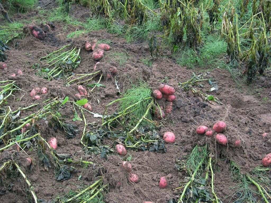 На карантинном участке в селе Межадор удалось вывести картофельную нематоду
