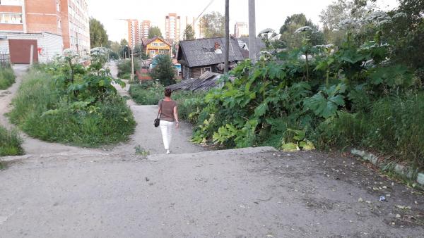 В Сыктывкаре борщевик захватил территорию у Коми национальной гимназии