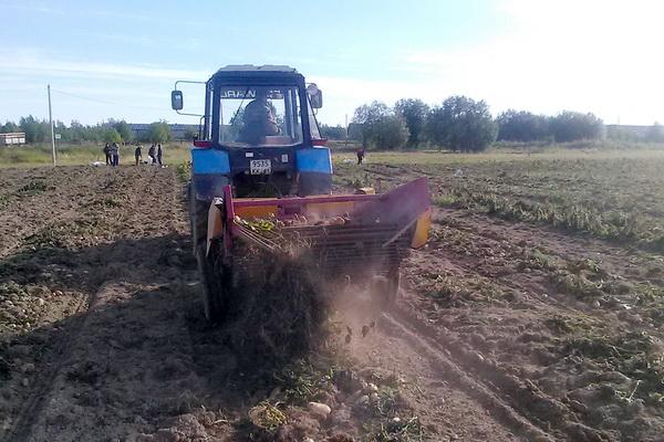 В колонии-поселении в Синдоре планируют убрать 275 тонн картофеля