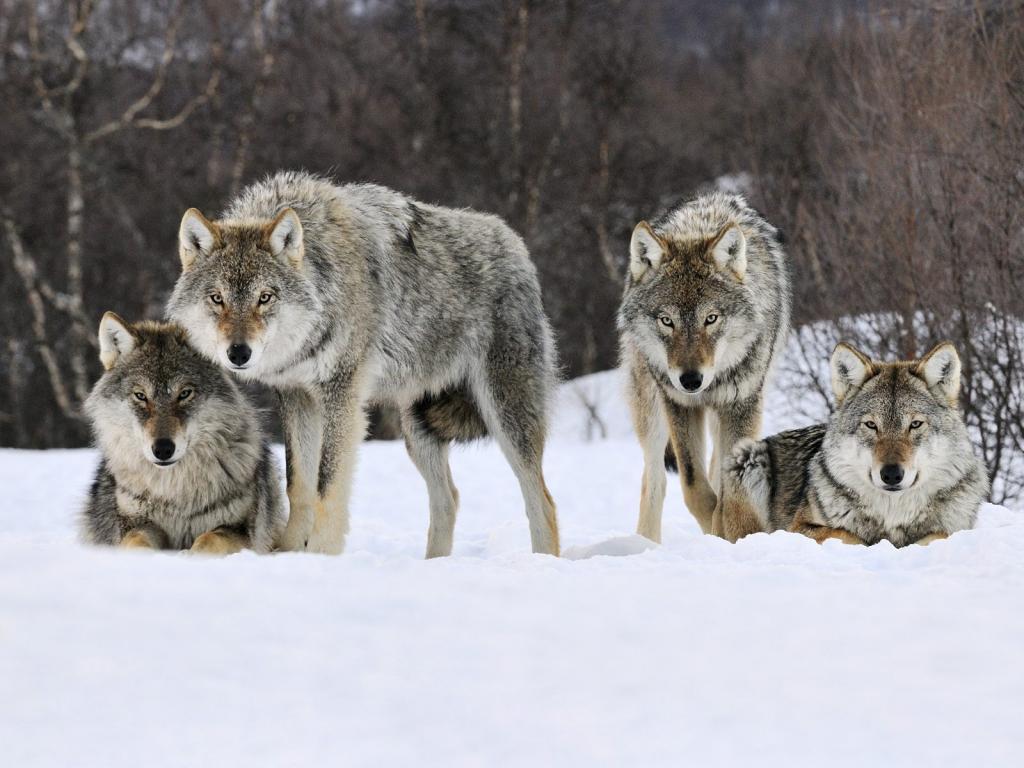 В Коми охотники добыли в минувшем сезоне полсотни волков