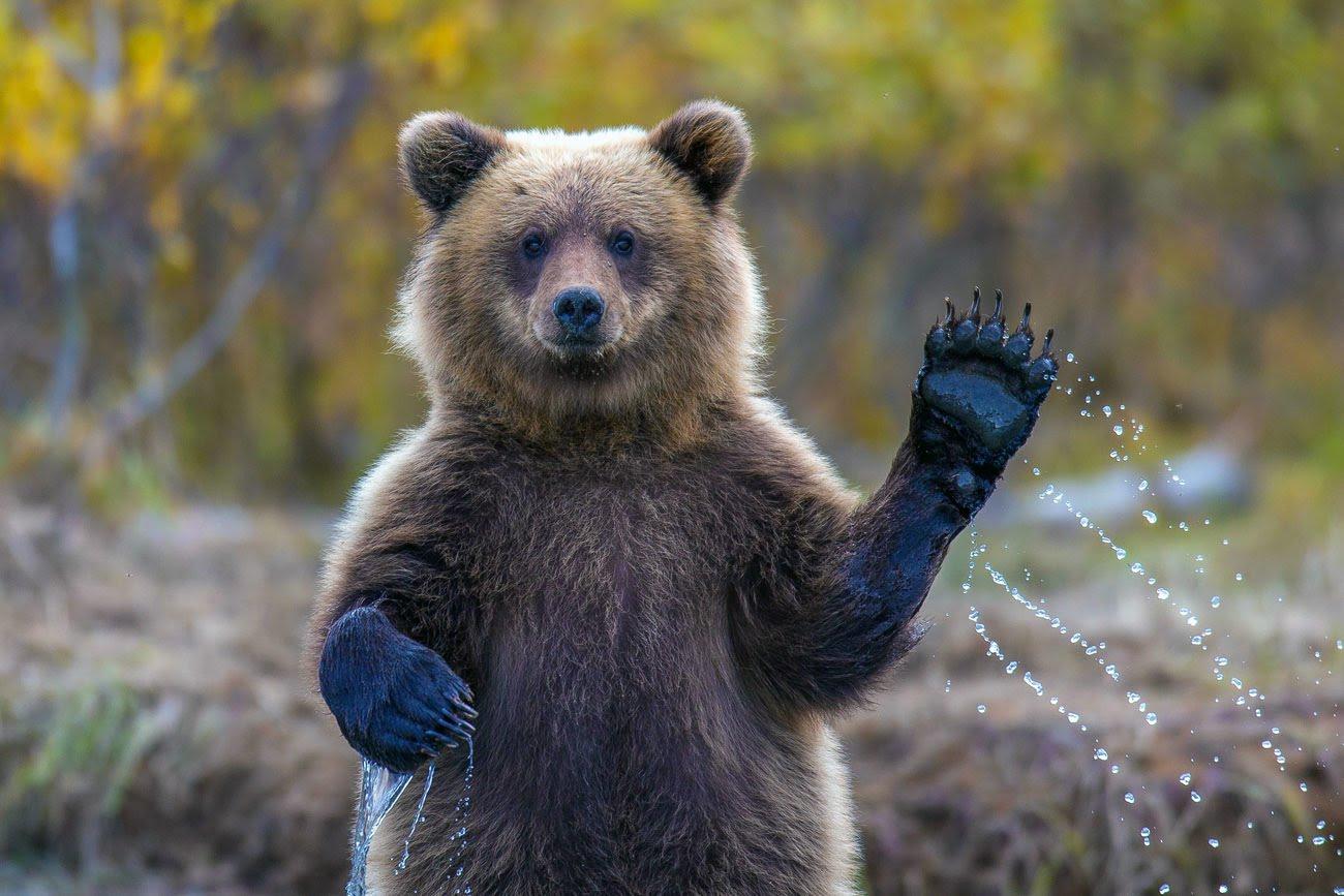 В Коми медведей, не залегших в спячку,будут отстреливать
