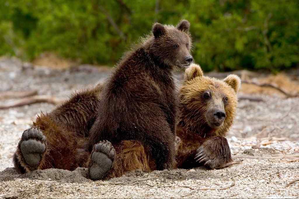 В печорском поселке Косью застрелили медведицу, бросавшуюся на людей