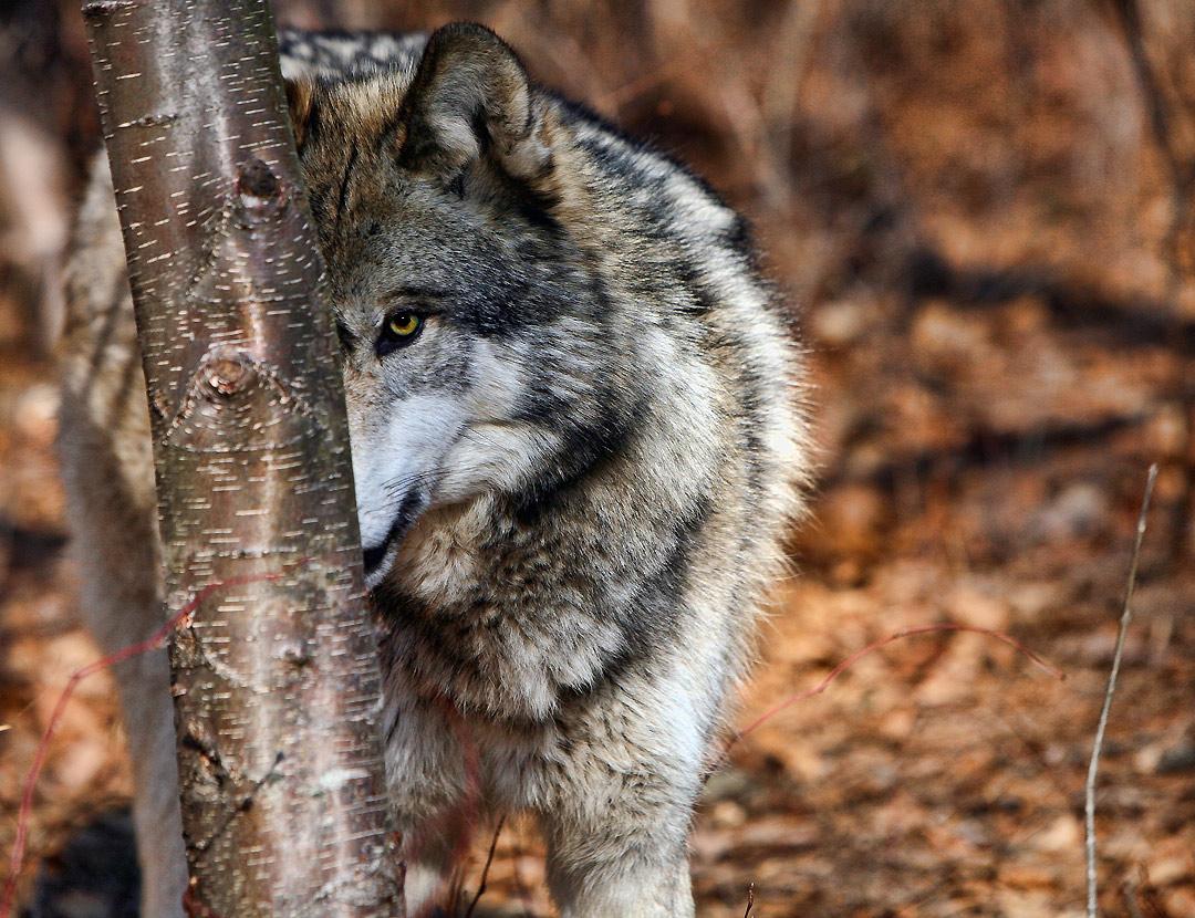 Облава на волков в удорском поселке Едва не увенчалась успехом