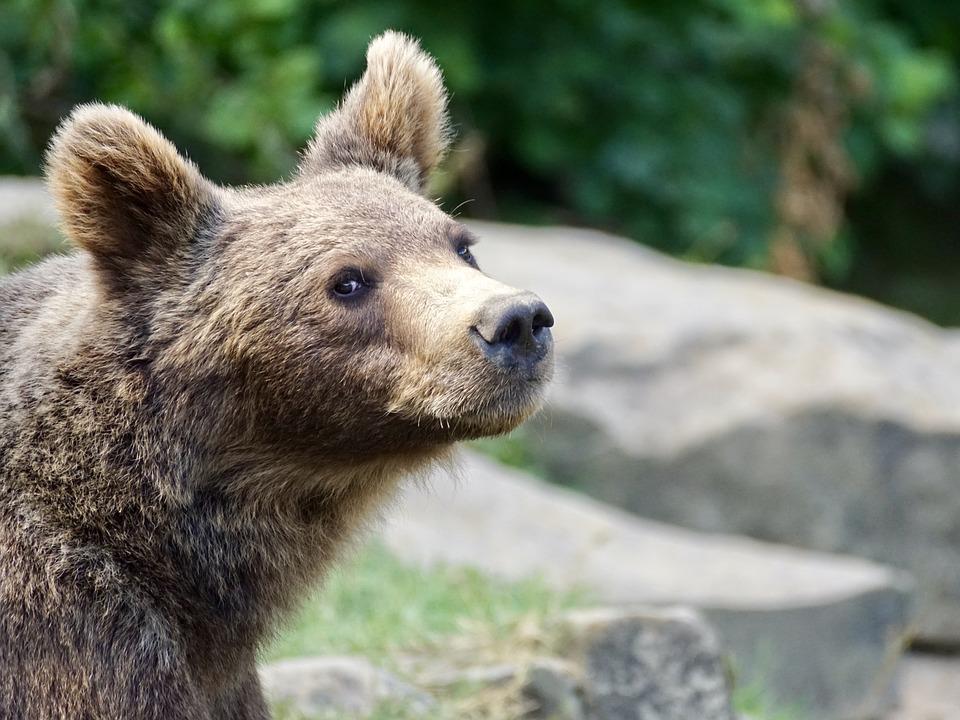 Коми предлагает федералам разрешить отстреливать волков и медведей всем охотникам с лицензией