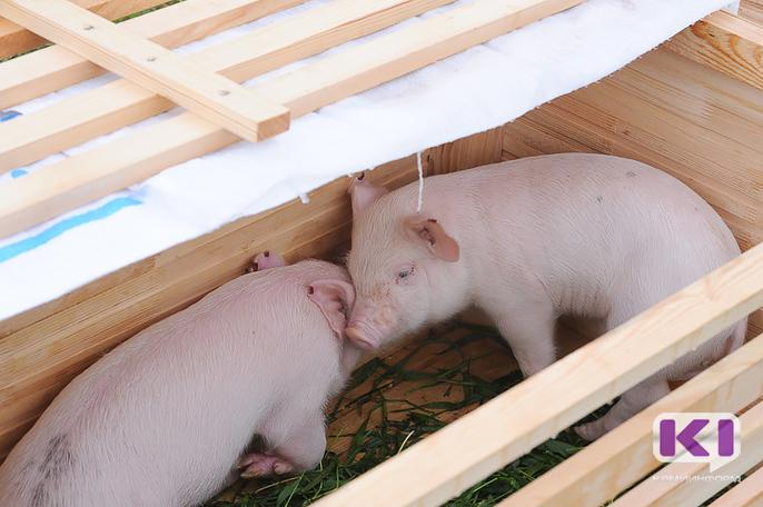 В Коми усилены меры по выявлению африканской чумы свиней
