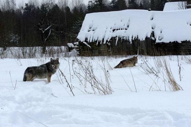 Экологи Коми дали рекомендации, как не стать жертвой нападения волков