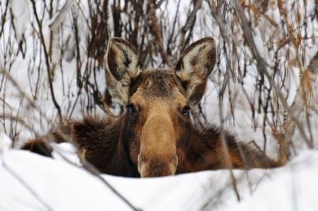 Браконьеры из Усинска предстанут перед судом по обвинению в незаконной охоте на лосей