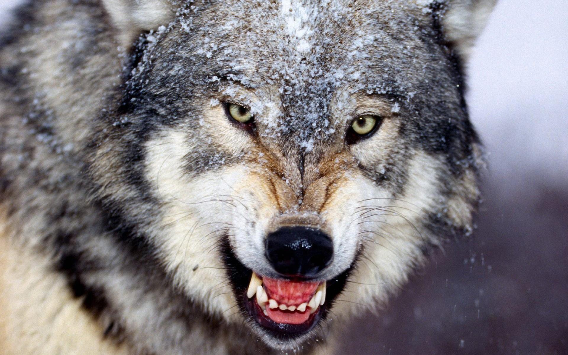 Советы охотников: как поймать волков