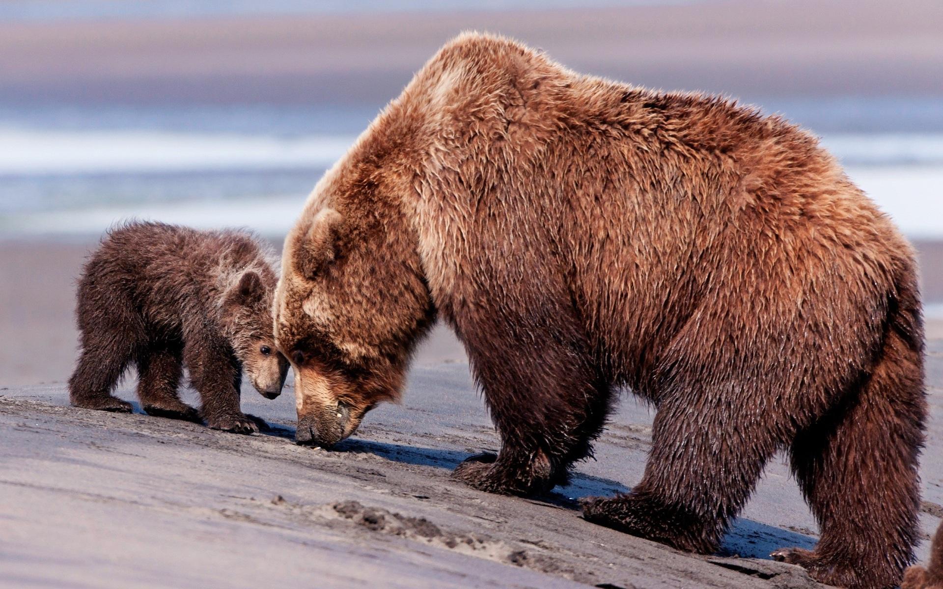 В Удорском районе возбуждено уголовное дело за отстрел медведицы и медвежонка