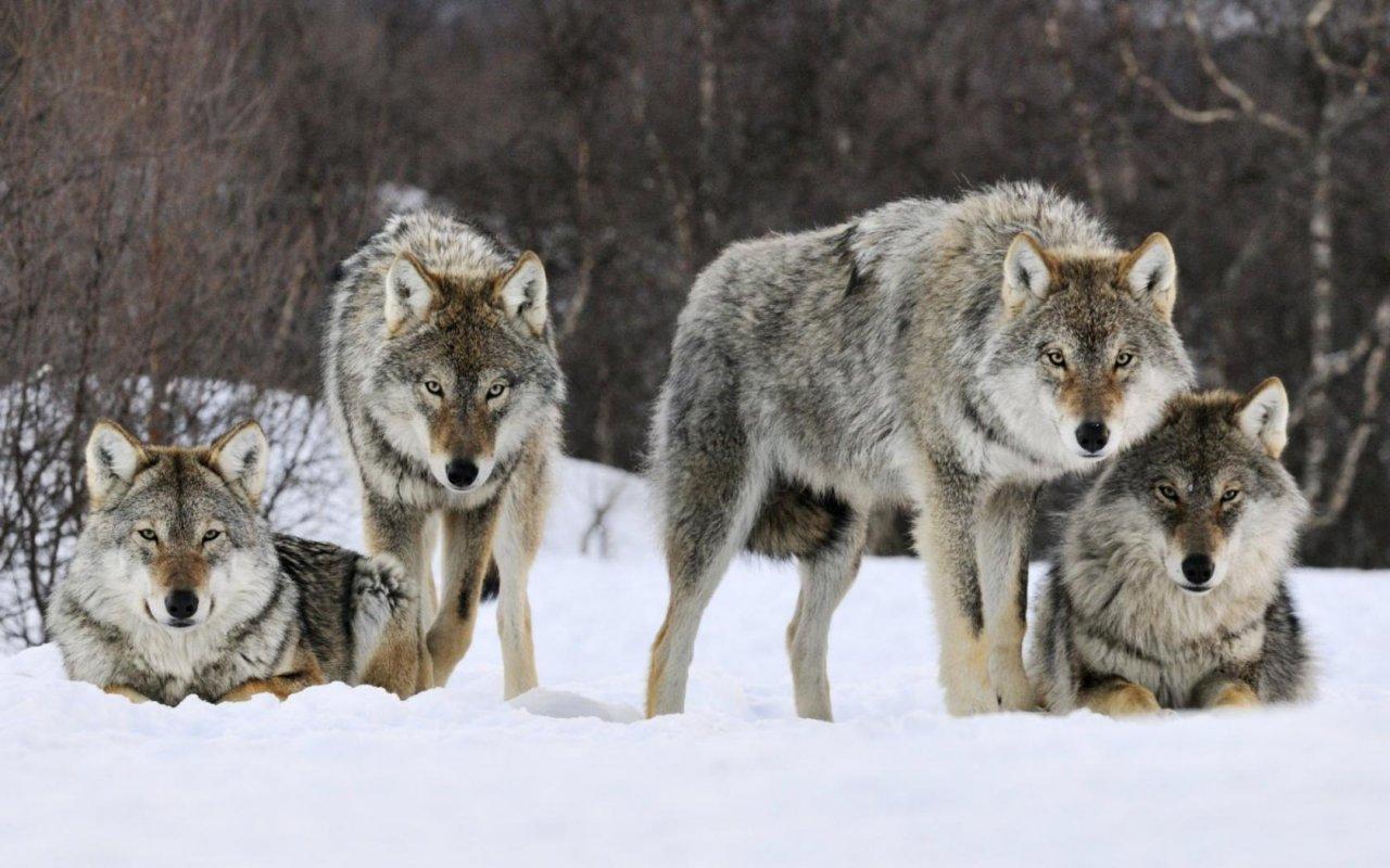 В Коми в 2017 году охотники уничтожили более 50 волков