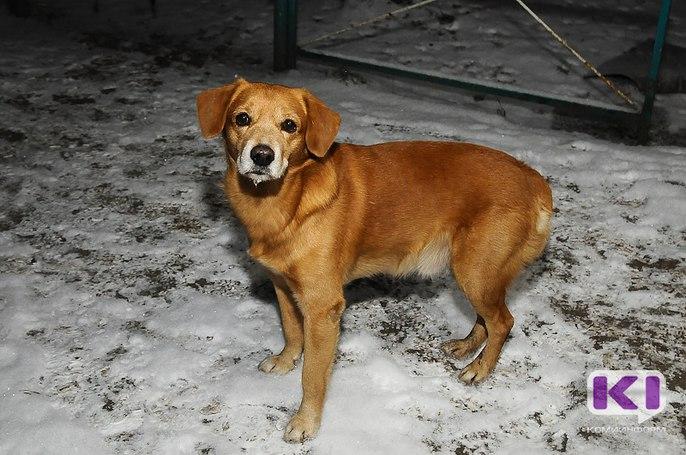 80% безнадзорных собак в Сыктывкаре имеют хозяев