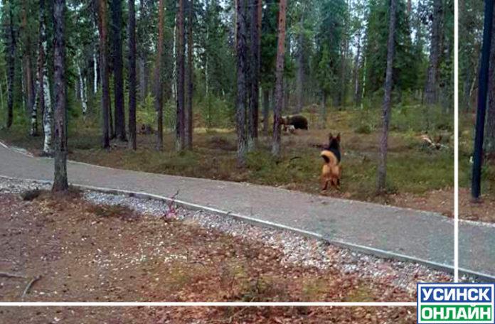 medved-usinsk-vyshel-na-tropa-zdorovya-696x456.jpg