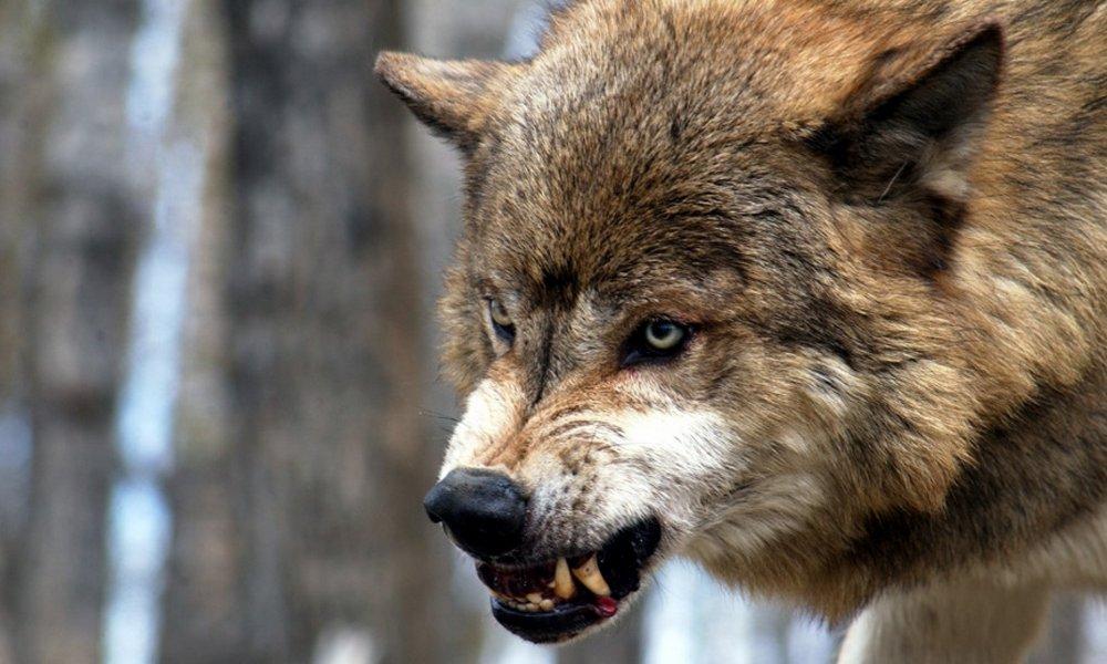 В Ёдве волк-одиночка снова вышел на охоту | Комиинформ