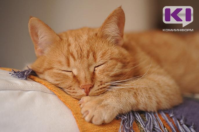 порода кошек микуны