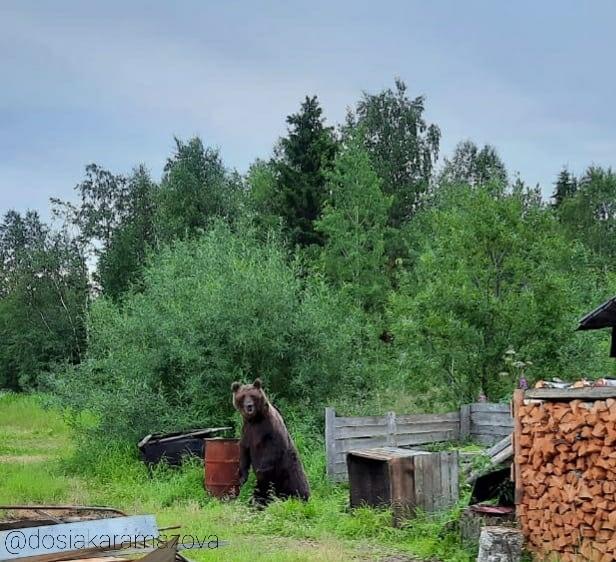 В Каджероме медведь взял под охрану огород и дровяник