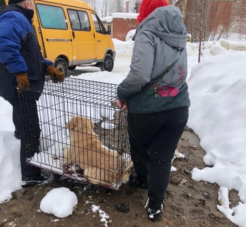 В Ухте призвали горожан не препятствовать отлову собак