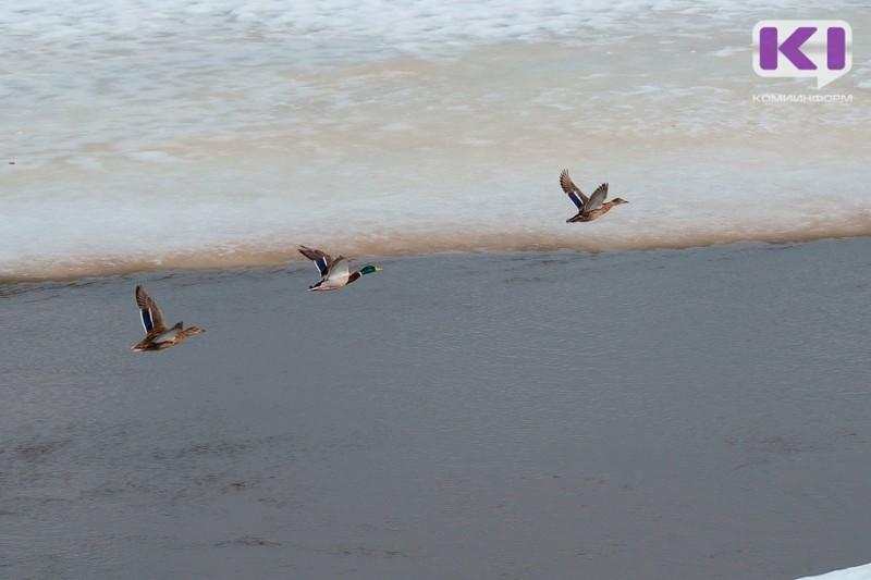 Раньше всех весенняя охота в Коми откроется в Прилузье, Койгородке и Сысольском районе